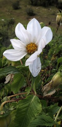 Dahlia white sp. from Colombia