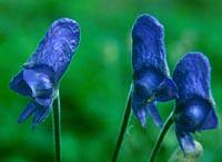 Aconitum proliferum
