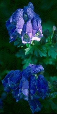 Aconitum napiforme