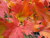 Acer aff. shirasawanum v. tenuifolium