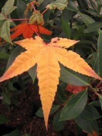 Acer heptaphlebium