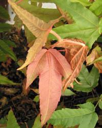 Acer tonkinense ssp. liquidambarifolium