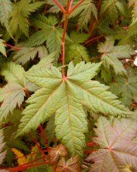 Acer caudatum