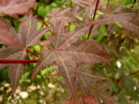 Acer duplicatoserratum