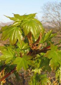 Acer pictum ssp. okamotoanum