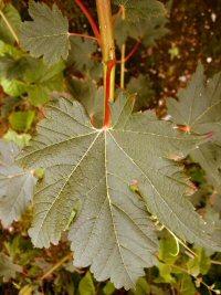 Acer aff. caudatum ssp. ukurunduense