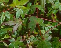 Acer pseudosieboldianum v. microsieboldianum
