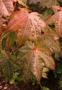 Acer campbellii v. campbellii