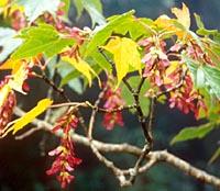 Acer pectinatum ssp. pectinatum