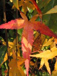 Acer serrulatum