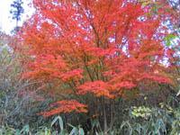 Acer sieboldianum v. tsushimense