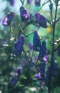 Aconitum formosanum