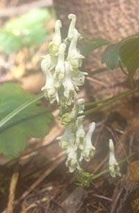 Aconitum longicassidatum
