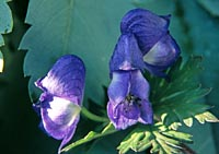 Aconitum chiisanense