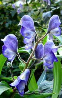 Aconitum ferox from Sikkim
