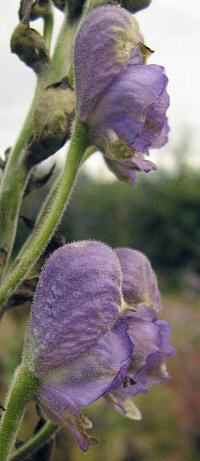 Aconitum spicatum
