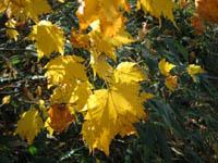Acer tschonoskii v. australe