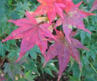 Acer amoenum