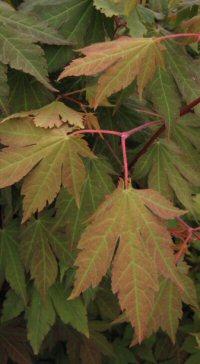 Acer sieboldianum