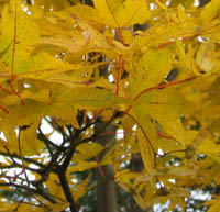 Acer palmatum v. matsumurae