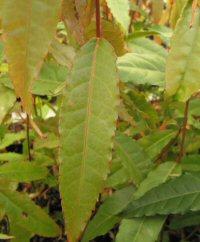 Acer aff. reticulatum