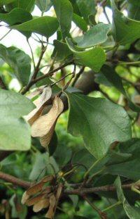 Acer buergerianum v. formosanum