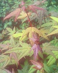 Acer campbellii v. fansipanense see pectinatum ssp. pec