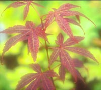 Acer palmatum v. coreanum