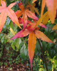 Acer oliverianum ssp. formosanum
