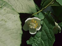 Actinidia polygama from Korea
