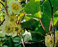 Actinidia sp. from China