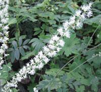 Actaea yesoensis