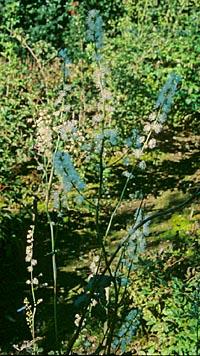 Actaea podocarpa