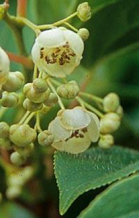 Actinidia hypoleuca