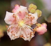 Actinidia callosa v. formosana