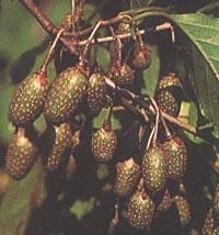 Actinidia rubricaulis