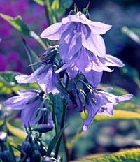 Adenophora grandiflora
