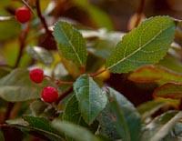 Ardisia japonica v. minor