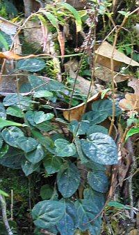 Ainsliaea chapaensis