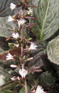 Ainsliaea petelotii