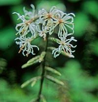 Ainsliaea apiculata v. acerifolia