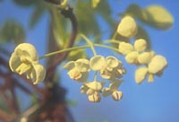 Akebia quinata white flowered form