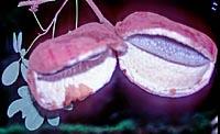 Akebia longiracemosa