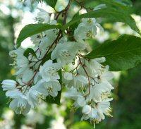 Alniphyllum fortunei