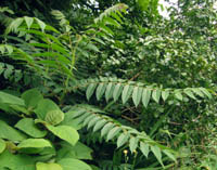 Ailanthus altissima v. tanakae