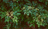 Ampelopsis brevipedunculata 'Citrulloides'