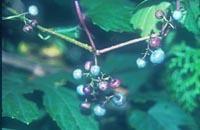 Ampelopsis glandulosa v. hancei