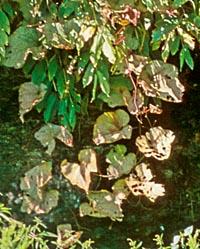 Ampelocissus sikkimensis