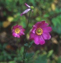 Anemone hupehensis v. japonica