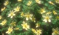 Anemone × lipsiensis